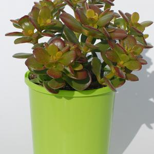 Crassula Ovata Crosby Red