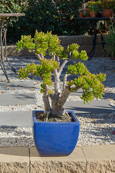 Bonsai Style Jade Plant Easy To Grow Care For Jade Plant